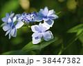 額紫陽花 ガクアジサイ 花の写真 38447382