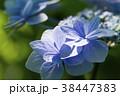 額紫陽花 ガクアジサイ 花の写真 38447383
