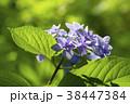 額紫陽花 ガクアジサイ 花の写真 38447384