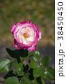 バラ 薔薇 花の写真 38450450