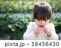 苺狩り (子供 幼児 女性 イチゴ いちご 苺 フルーツ 果物 レジャー ビニールハウス デザート) 38456430