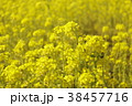 菜の花畑 花 春の写真 38457716