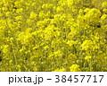 菜の花畑 花 春の写真 38457717