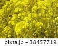 菜の花畑 花 春の写真 38457719