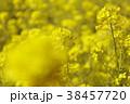 菜の花畑 花 春の写真 38457720