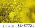 菜の花畑 花 春の写真 38457721