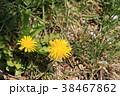 たんぽぽ キク科 植物の写真 38467862