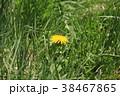 たんぽぽ キク科 植物の写真 38467865