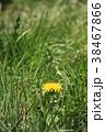 たんぽぽ キク科 植物の写真 38467866