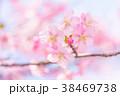 河津桜 花 ピンクの写真 38469738