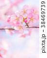 河津桜 花 ピンクの写真 38469739