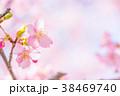 河津桜 花 ピンクの写真 38469740
