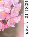 河津桜 花 ピンクの写真 38469838