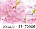 河津桜 花 ピンクの写真 38470086