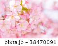 河津桜 花 ピンクの写真 38470091