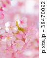 河津桜 花 ピンクの写真 38470092