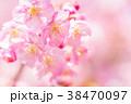 河津桜 花 ピンクの写真 38470097