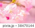 河津桜 花 ピンクの写真 38470144