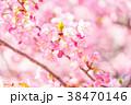 河津桜 花 ピンクの写真 38470146