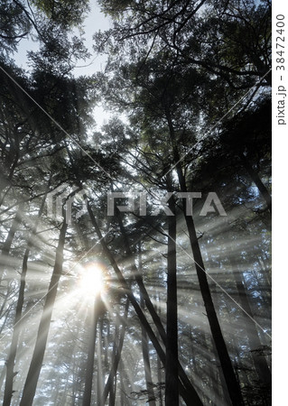 奥秩父・金峰山の登りの樹林帯で朝霧に差す光芒 38472400