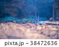 ウサギ 兎 うさぎ島の写真 38472636