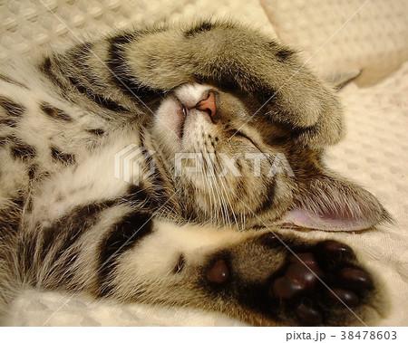 とら次郎 子猫1 38478603