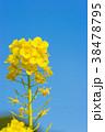 菜の花 花畑 花の写真 38478795