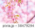 河津桜 花 ピンクの写真 38479294