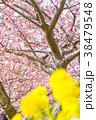 ピンク 河津桜 花の写真 38479548