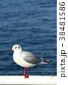 ユリカモメ カモメ 海鳥の写真 38481586