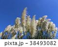 パンパスグラス シロガネヨシ 青空の写真 38493082