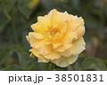バラ 花 植物の写真 38501831