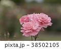 バラ 花 植物の写真 38502105