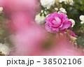 バラ 花 植物の写真 38502106