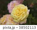 バラ 花 植物の写真 38502113