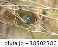 カワセミ 野鳥 鳥類の写真 38502386