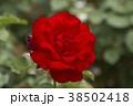 バラ 花 植物の写真 38502418