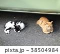 ネコ 猫 38504984