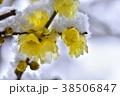 冬 ロウバイ 花の写真 38506847