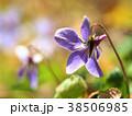 タチツボスミレ スミレ 春の写真 38506985