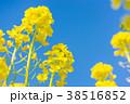 花 菜の花 春の写真 38516852