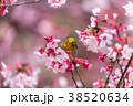 寒桜 花 桜の写真 38520634