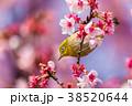 寒桜 花 桜の写真 38520644