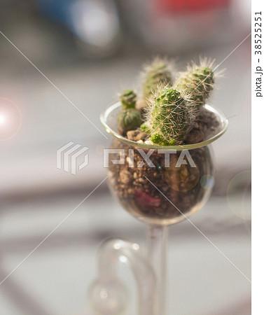 cactus 38525251