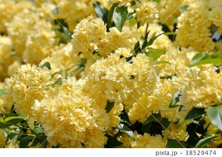 東京都三鷹市の植物 三鷹中原に咲くモッコウバラ 38529474