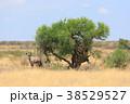 アフリカ 草食動物 動物の写真 38529527
