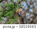 小鳥 鳥類 鳥の写真 38529563