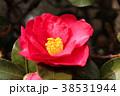 山茶花 花 赤色の写真 38531944