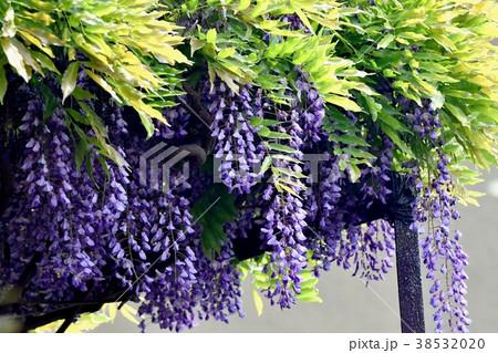 東京都三鷹市の植物 三鷹中原に咲くフジ(藤)の花 38532020