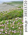 ハマヒルガオ 花 開花の写真 38533720